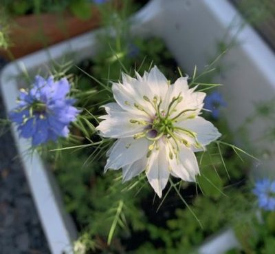 love in a mist - parenting an autistic child